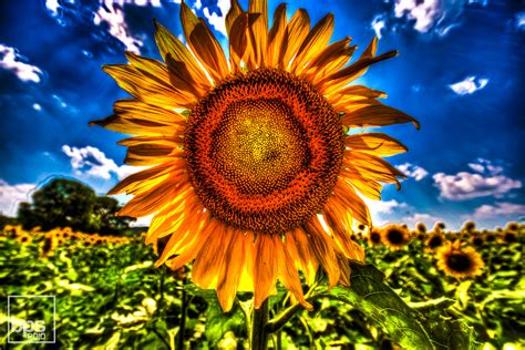 Sunflower Field photo s of the day sunflowers in hdr blake s