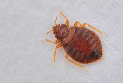 what color is bed bugs what color is bed bugs 28 images bedbugs are to