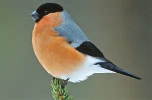 Kitchen Table Wisdom Why The Bullfinch Is Almost My Favorite Bird Anita S Blog