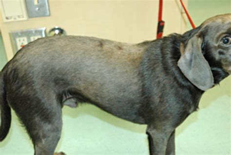 color dilution alopecia animal dermatology clinics newsletter