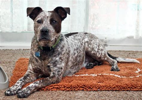 australian cattle pitbull mix american staffordshire terrier australian cattle mix australian cattle dogs