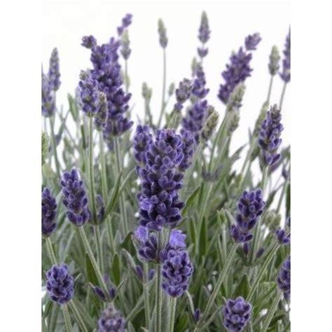 pianta di lavanda in vaso pianta lavanda piante aromatiche pianteweb