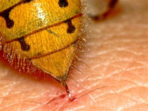 imagenes de avispas rojas avispas y picaduras todo lo que debes saber para