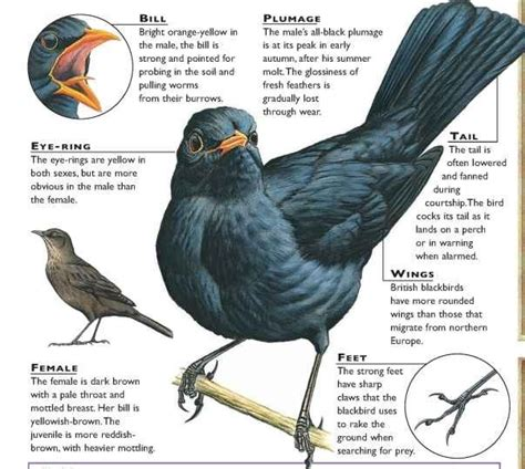 blackbird birds