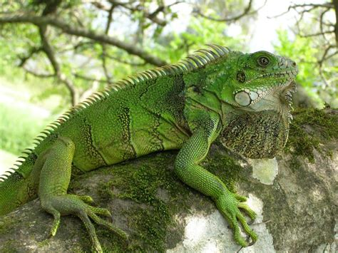 imagenes de iguanas blancas galer 237 a especies ex 243 ticos amenazadas en honduras