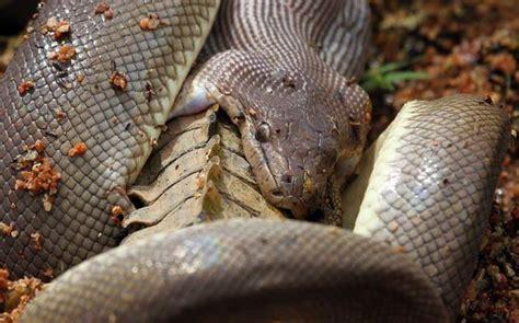 giant snake fights  crocodile  eats   pics