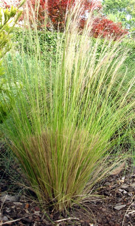 drystonegarden 187 blog archive 187 maintaining ornamental grasses