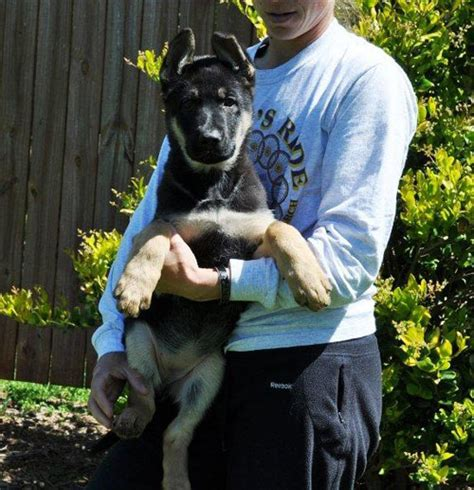 puppies for sale in winston salem german shepherd puppies for sale in winston salem breeds picture