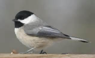 carolina chickadee the texas breeding bird atlas