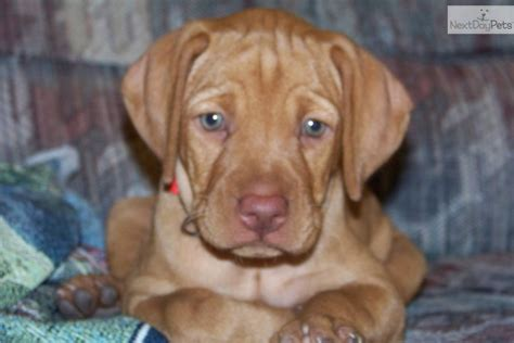 vizsla puppies iowa vizsla puppy for sale near d37ac7d1 ad81