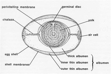 Cross Section Diagram by وبلاگ علمی پارسیان Avian Egg Biology