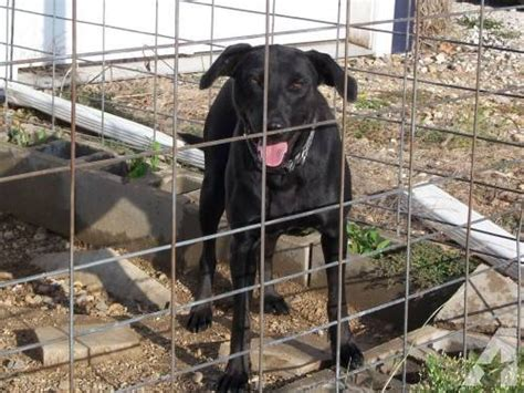 black lab puppies for sale in iowa black labrador retriever macy large for sale in clayworks