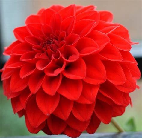 Bibit Bunga Dahlia Pompon tanaman dahlia merah bibitbunga