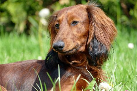 dachshund puppy names dachshund names 150 awesome wiener names my s name