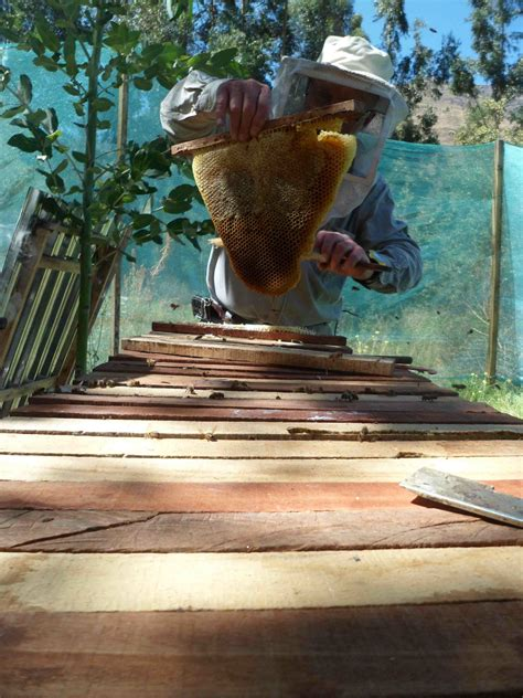 harvesting honey from top bar hive technically speaking honey harvest at the farm the