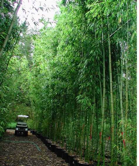 Backyard Bamboo Garden by Bamboo Garden To Soothing The House