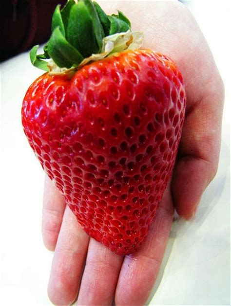 Harga Bibit Strawberry Jogja jual benih biji strawberry besar import