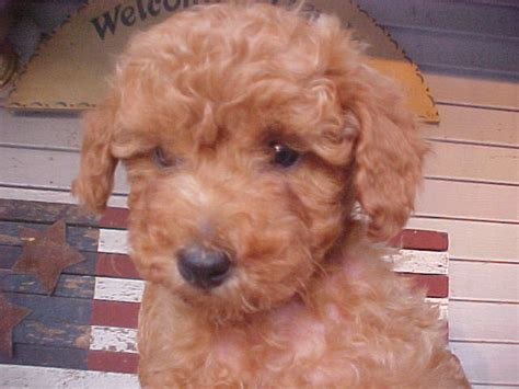 indiana doodle rescue poodle puppies indiana dogs our friends photo