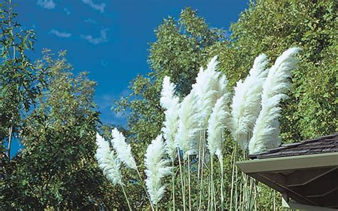 perennial ornamental grasses  plant  fall  home