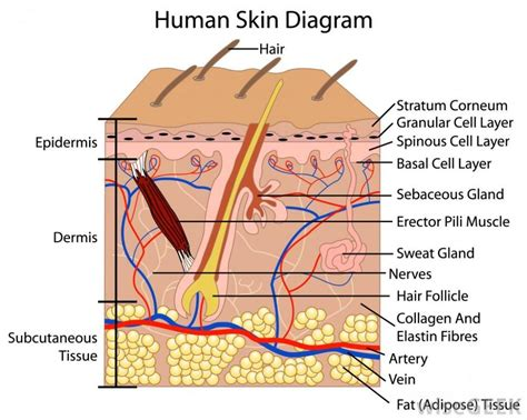 diagram of the skin labeled diagram of skin anatomy list