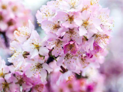 sfondi fiori di ciliegio sfondi rosa fiorire primavera fiore di ciliegio