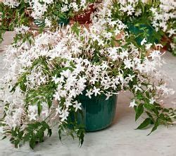 gelsomino coltivazione in vaso gelsomino coltivazione e cura avr 242 cura di te