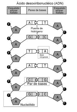 union de cadenas de adn nucle 243 tido wikipedia la enciclopedia libre
