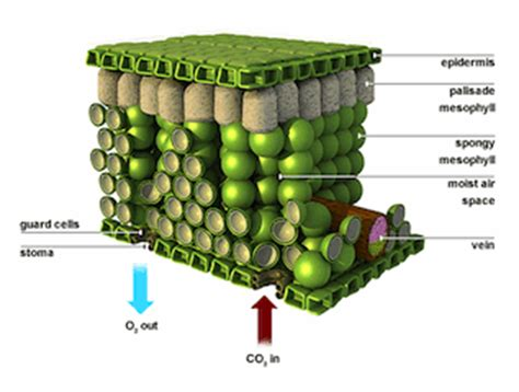 mesophyll cell diagram mesophyll diagram gallery