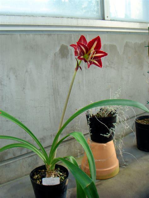 Hippeastrum Escobaruriae C 195 161 Rdenas J Van Scheepen Tsukuba Botanical Garden