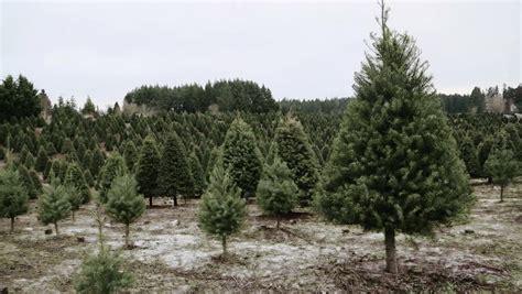 christmas tree farm sussex douglas footage stock
