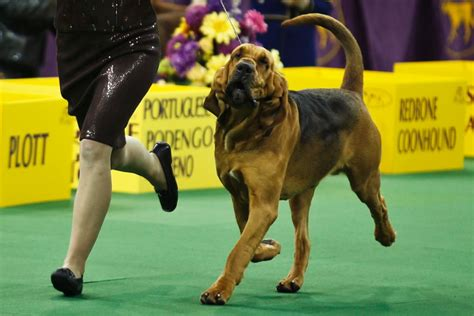 puppy shows westminster show 2014 photos westminster show 2014 ny daily news
