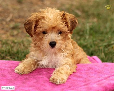 yorkie terrier mix for sale 25 best ideas about terrier for sale on teacup