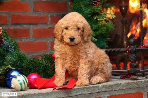 mini doodle breeders in pa goldendoodle puppy for sale in pennsylvania