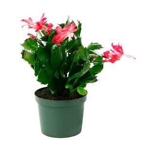 cactus de no 235 l 216 11cm pot cact 233 es et plantes grasses d