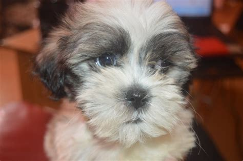 zuchon puppies shichon zuchon breed info pictures picture breeds picture