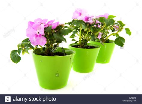 Pikmin 2 White Flower Garden Pink Busy Lizzies For The Flower Garden Isolated White Stock Photo Royalty Free Image