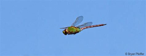 green darner dragonfly migration vermont center for