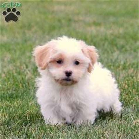 teddy puppies for sale in nj shichon teddy puppies for sale in de md ny nj philly dc and baltimore