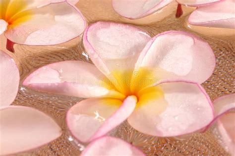 fiori frangipane fiori di frangipane immagine stock immagine di giardino