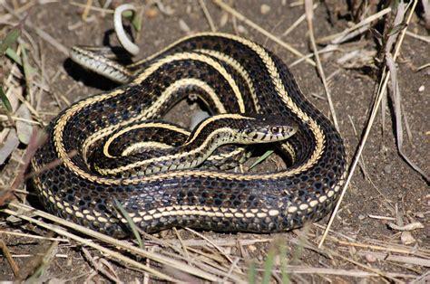Garter Snake Belly Plains Garter Snake Thamnophis Radix Minnesota