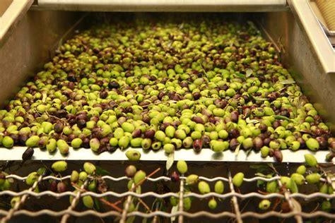 Limited Edition Minyak Zaitun Olive 1 Liter Al Ghuroba Pulau canaan fairtrade poevoo palestinian organic olive olive atau minyak