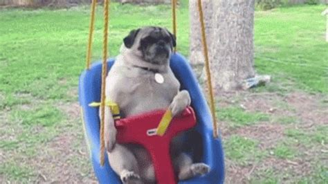 pug gif pug gif find on giphy