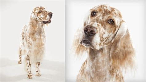 setter dog training english setter history personality appearance health