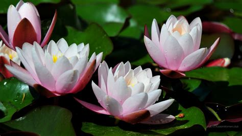 fiori ninfee 1600 x 900 ninfee sfondi fiori immagini di sfondo 1600x900