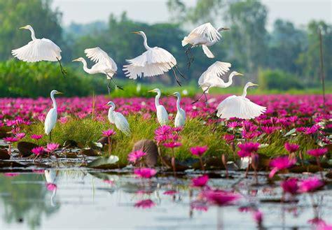 fiori thailandesi nong han kumphawapi il lago ricoperto dai fiori di loto