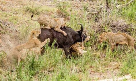 imagenes leones cazando related keywords suggestions for leones cazando bufalos