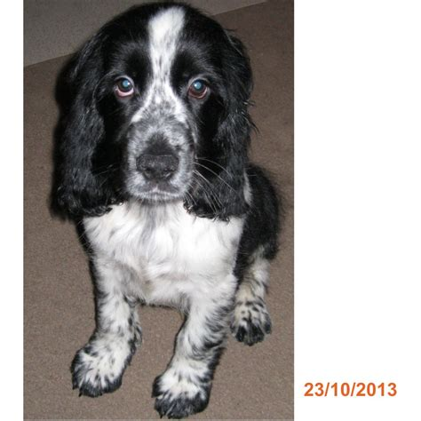 black and white cocker spaniel puppies boy cocker spaniel puppy black white family raised wisbech cambridgeshire pets4homes