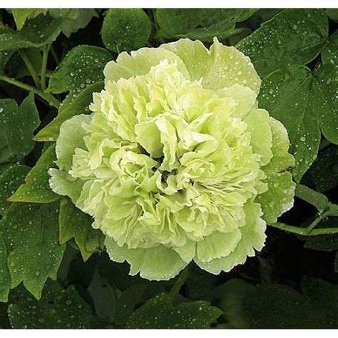 Jual Bibit Bunga Peony bibit bunga peony green