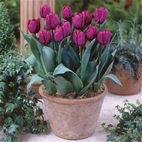 tulipano in vaso tulipano cura e coltivazione avr 242 cura di te
