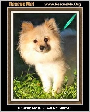 pomeranian rescue northern california pomeranian rescue breeds picture